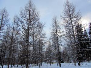 Larix_sibirica_-_Siperianlehtikuusi,_Sibirisk_lärk,_Siberian_larch_IMG_9213_C